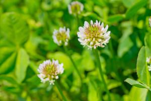 シロツメグサの花